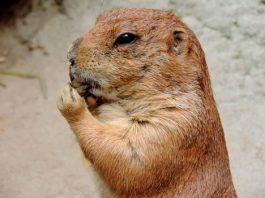 La eterna marmota, portada